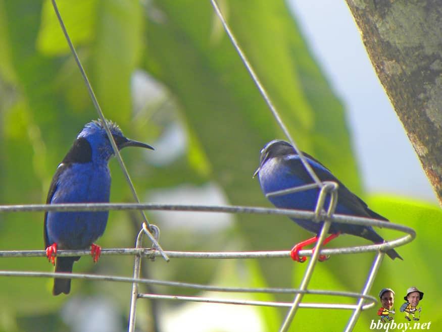 blue birds, la fortuna