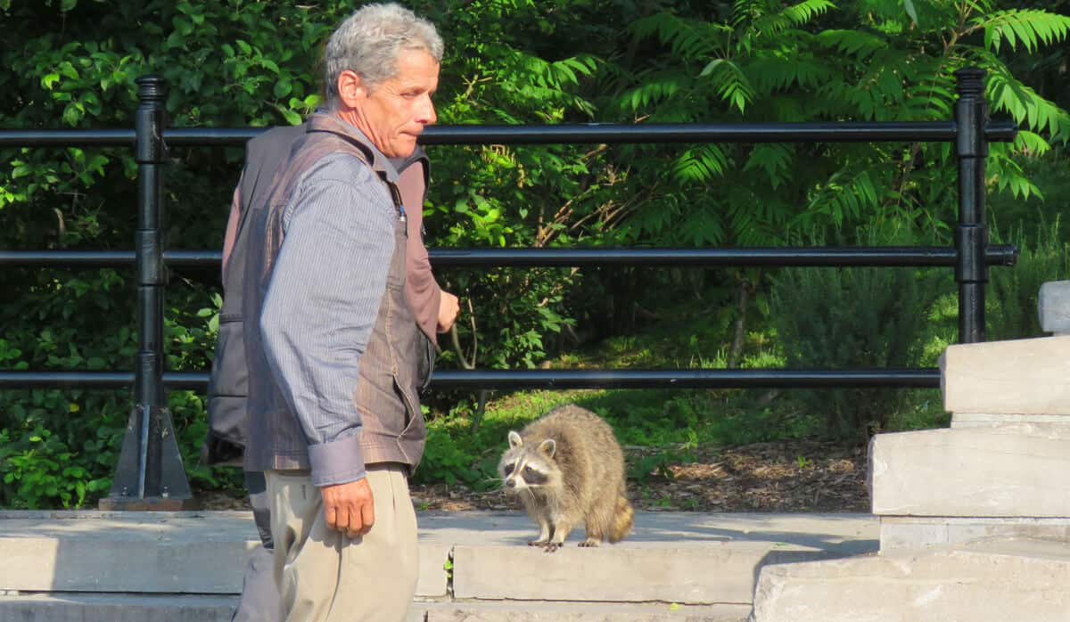 making friends with a raccoon in Montreal
