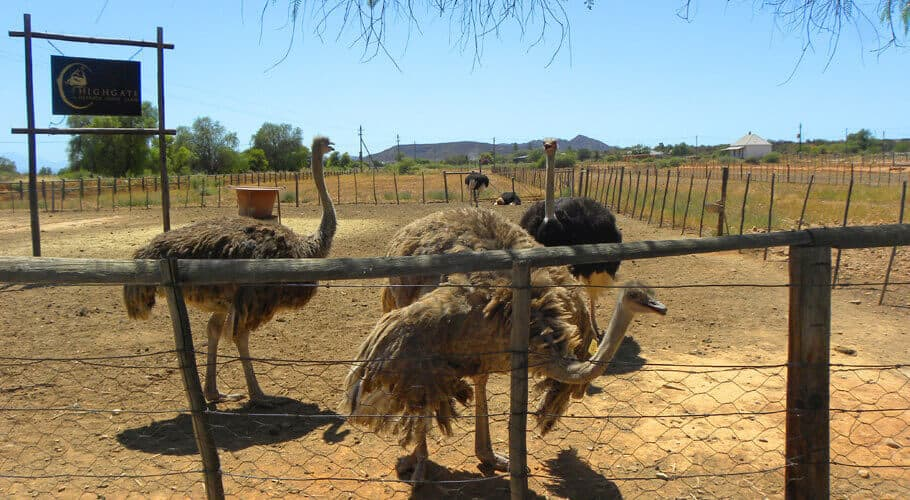 ostrich capital, south africa