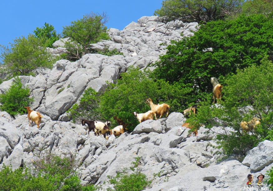 goats in mount mosor