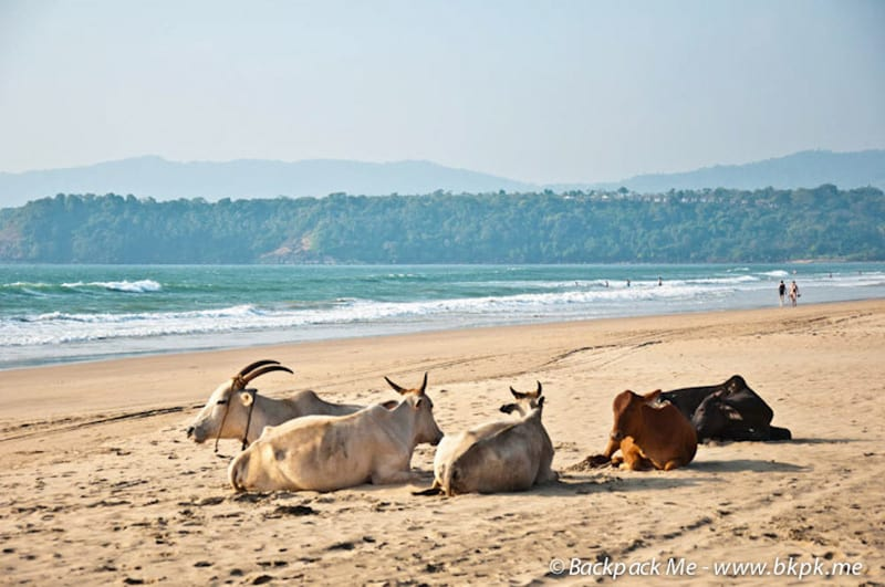 In India cows enjoy the beach too