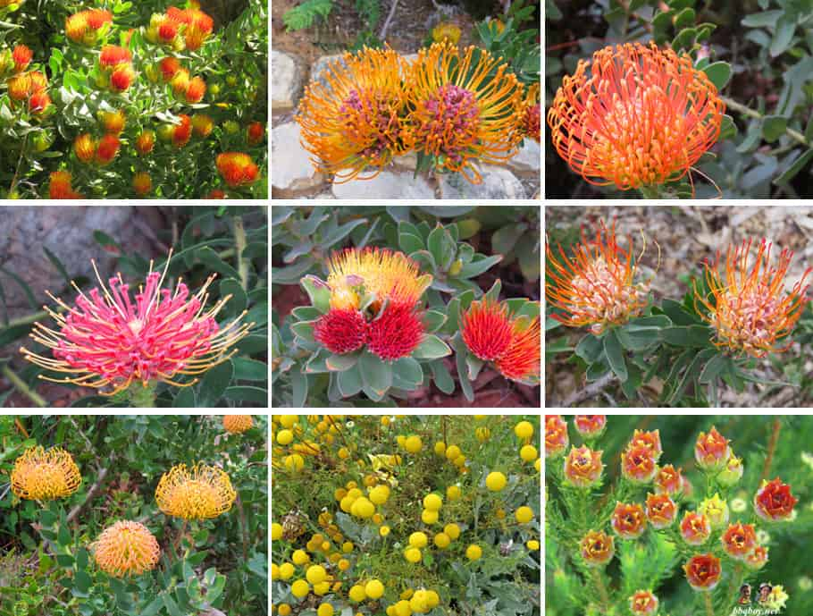 flowers at Kirstenbosch Botanical Gardens 2