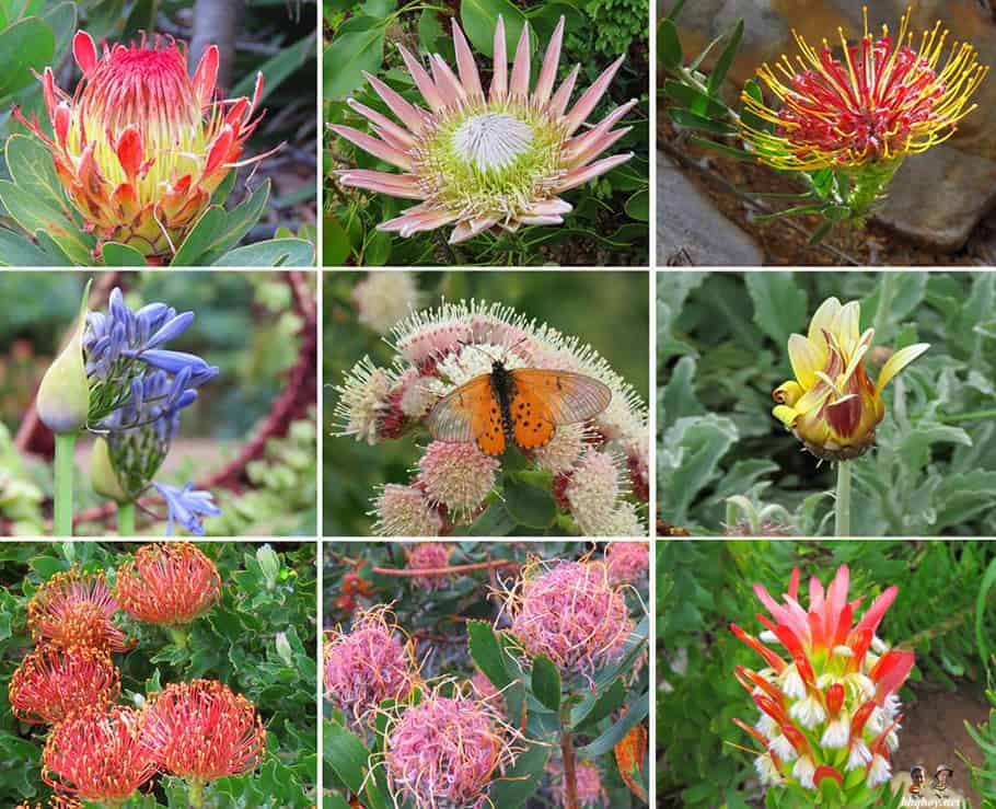 flowers at Kirstenbosch Botanical Gardens