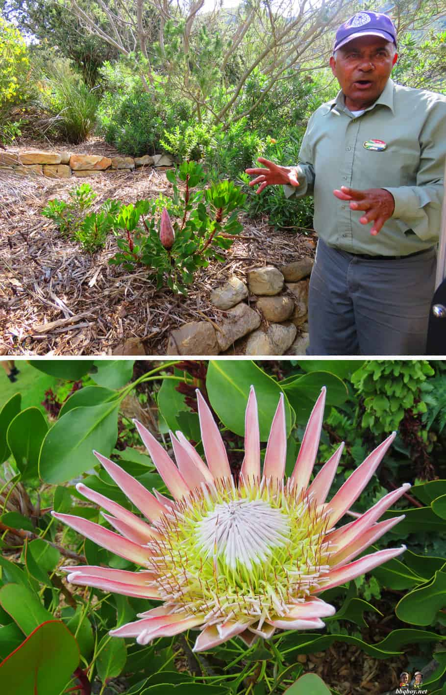 king protea and Kirstenbosch Botanical Gardens