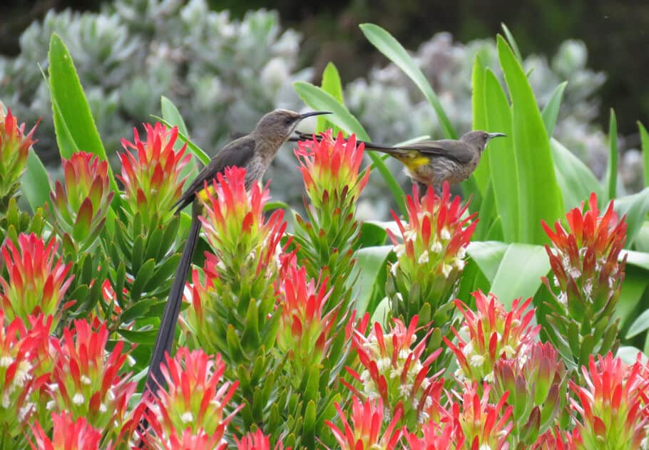 birds and flowers. A visit to Kirstenbosch Botanical Gardens, Cape Town