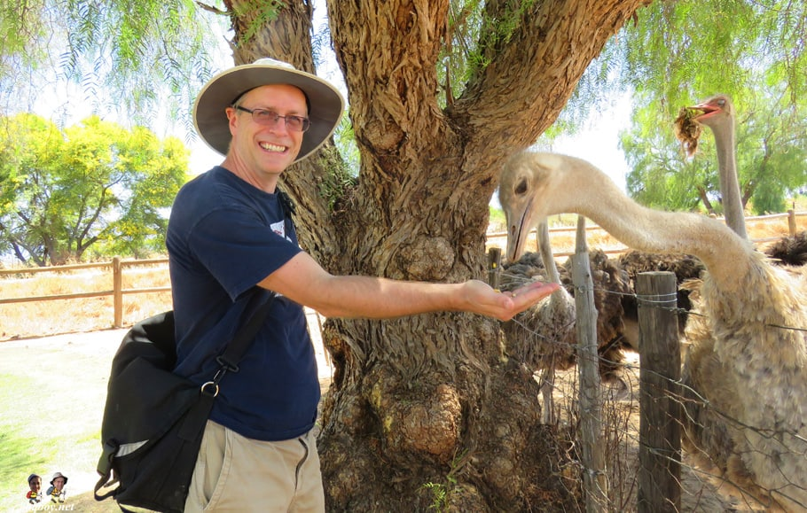 feeding ostriches in oudtshoorn