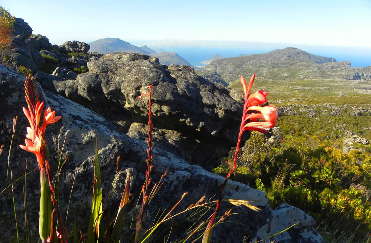 Flora. Hiking up the Twelve Apostles to Table Mountain, Cape Town