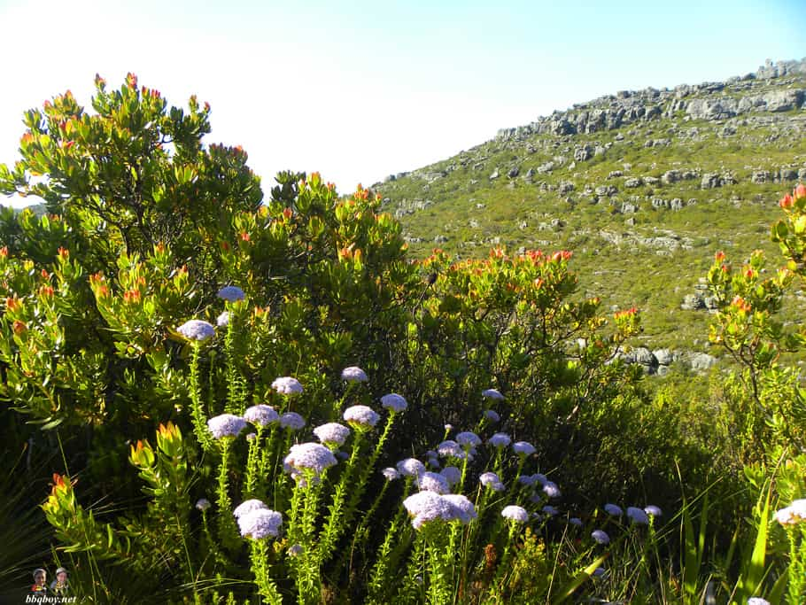 flowers, table mountain national park