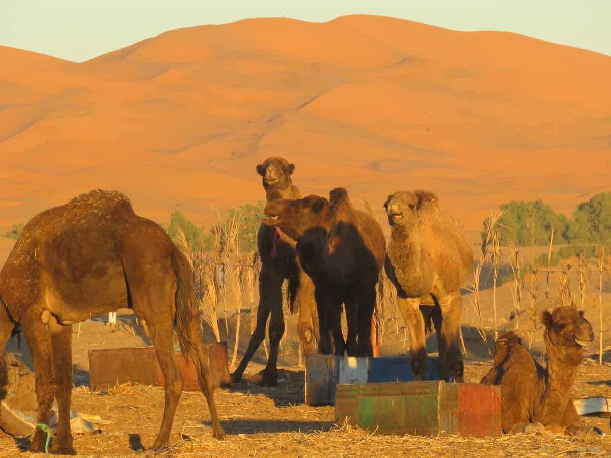 camels in Merzouga