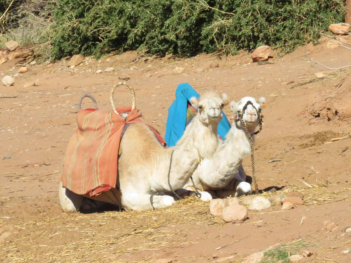 camels in Ait Benhaddou, Morocco