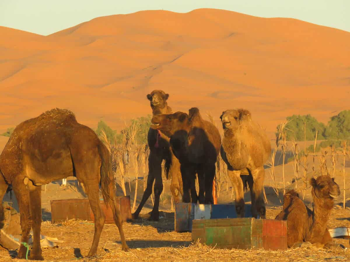 camels in Merzouga, Morocco
